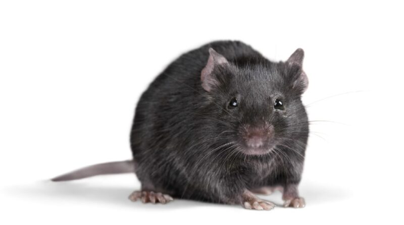 Rats and Mice control - Beware of Them